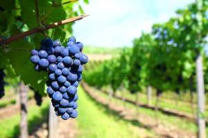 vineyard-photo