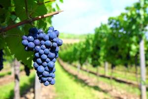 vineyard-photo